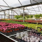 Greenhouse full of annuals